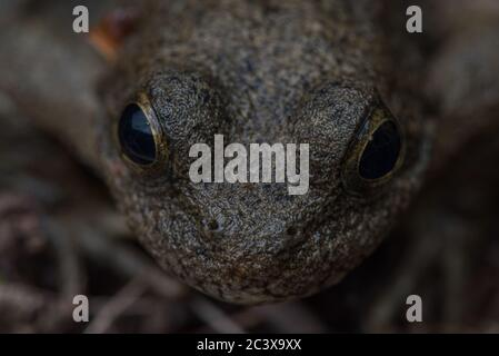 Foothill yellow legged frog (Rana boylii) a species found in the West Coast of N America and declining across its range, it is of conservation concern. - Stock Photo