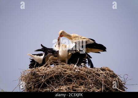 White stork  (Ciconia ciconia) Feeding chicks - Stock Photo