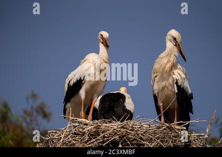 White stork  (Ciconia ciconia) Feeding chicks - Stock Photo