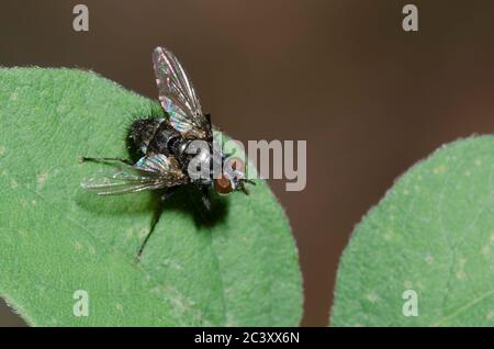 Tachinid Fly, Tribe Winthemiini - Stock Photo