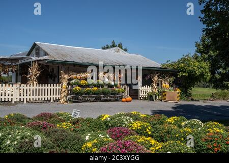 Lancaster County, Pennsylvania- September 3, 2019: Mums, pumpkins and fall corn on sale at local Farmer's Market