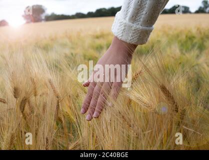 Female hand touching ripening yellow golden wheat rye ears in early summer in wheat field during sun rise. Blue sky on background - Stock Photo
