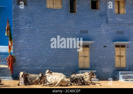 Cow herd lying in the Blue City of Jodhpur, Rajasthan , India. - Stock Photo