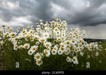 Oxeye Daisies growing in rough grassland under a heavy grey sky, East Garston, West Berkshire, England, United Kingdom, Europe - Stock Photo
