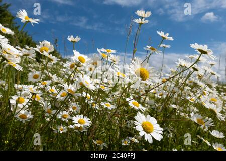 Oxeye Daisies growing in rough grassland, East Garston, West Berkshire, England, United Kingdom, Europe - Stock Photo