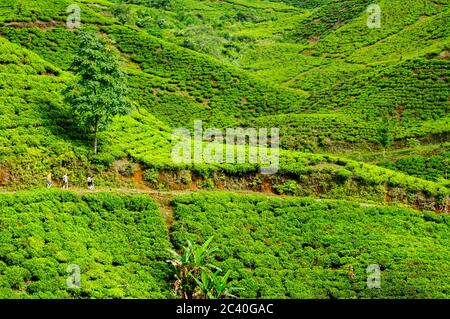 Colourful Terraced tea plantation in West Java - Stock Photo