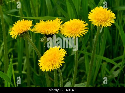 A cluster of yellow dandelions growing wild in a green grassy area in rural Alberta Canada - Stock Photo