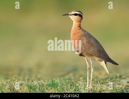 The Indian courser is a species of courser found in mainland South Asia, mainly in the plains bounded by the Ganges and Indus river system. - Stock Photo