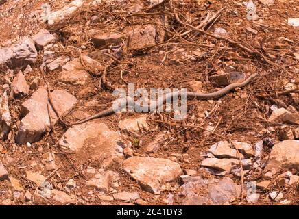 Hidden snake, dice snake, Natrix tessellata - Stock Photo