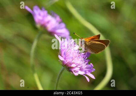 A close up view of a Large Skipper Butterfly - Stock Photo