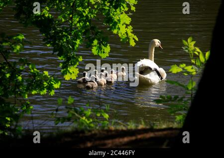 Germany, Saxony, Adult swan swimming in lake with cygnets - Stock Photo