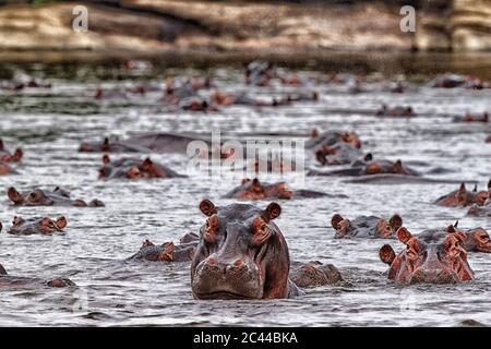 Democratic Republic of Congo, Hippopotamuses (Hippopotamus Amphibius) swimming in river
