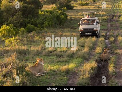 Tourists in a bus watching lioness (panthera leo) passing in the bush, Laikipia county, Mt kenya national park, Kenya - Stock Photo