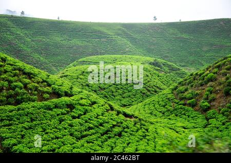 Vibrant green Terraced of tea plantation on the hill in West Java in the Pangrango Natural Park - Stock Photo