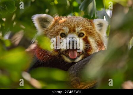 Red Panda - Ailurus fulgens, popular small panda from Asian forests and woodlands, China.