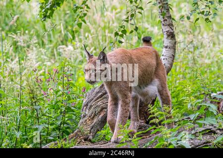 Young Eurasian lynx (Lynx lynx) juvenile hunting in grassland / meadow at forest edge - Stock Photo