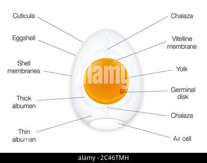 Anatomy of a birds egg. Labeled egg structure chart with names of the components - illustration on white background.