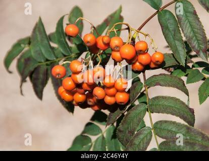 Sorbus aucuparia - Rowan tree berries