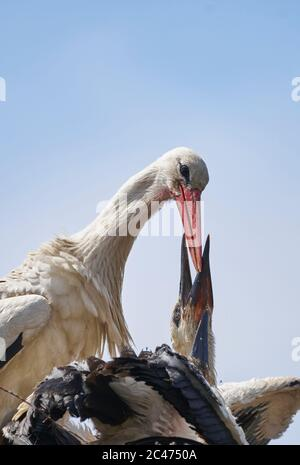 White stork (Ciconia ciconia) feeding its greedy young - Stock Photo