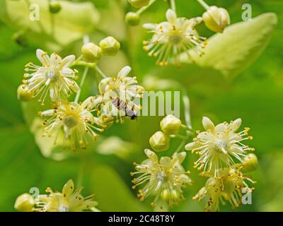 Flowering linden in a close-up - Stock Photo