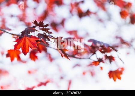 Beautiful branches of a Norway maple (Crimson King, Goldsworth Purple) with red leaves in sunlight.   Selective focus. - Stock Photo