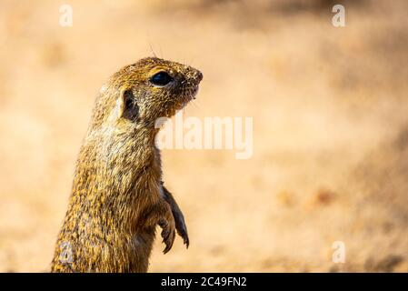 European ground squirrel, Spermophilus citellus, aka European souslik. Small cute rodent in natural habitat sitting on its hind legs. - Stock Photo