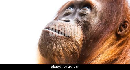 Orangutan, aka orang-utan or orangutang. Detailed face portrait.