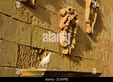 CITTADELLA, GOZO, MALTA - Oct 11, 2014: Pigeon resting on the facade of an old yellow globigerina limestone building with old coat of arms in the Citt - Stock Photo