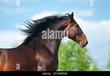 Beautiful andalusian stallion portrait on the run. Bay spanish horse. Portrait on movement - Stock Photo