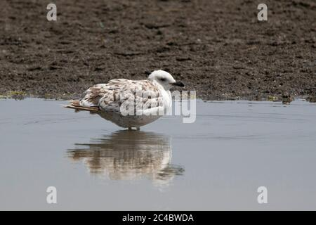 Armenian gull (Larus armenicus), young bird perching in shallow water at the lake shore, side view, Anatolia, East Anatolia - Stock Photo