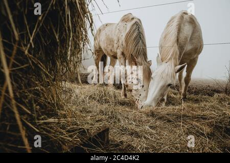 Two horses are feeding straw from the ground with the haystack in the foreground during the misty morning taken from low angle - Stock Photo