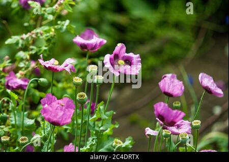Bees in Poppy Blossoms