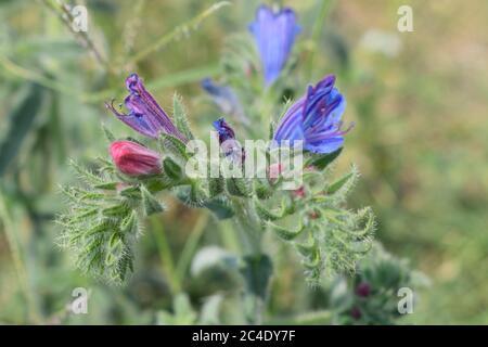 Echium Plantagineum Commonly Known as Purple Viper's-Bugloss - Stock Photo