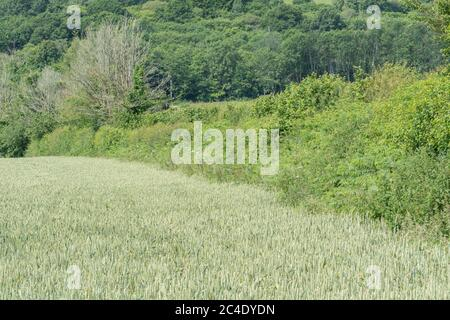 Hedgeline / boundary line of green UK wheat field. Metaphor farming & agriculture UK, boundaries, hedge lines, UK food supply, wheat crop 2020.