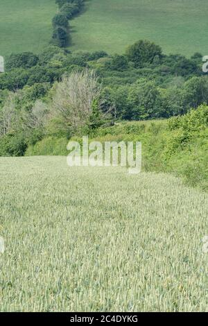 Hedgeline / boundary line of green UK wheat field. Metaphor farming & agriculture UK, boundaries, hedgelines, UK food supply. Mid-ground focus.