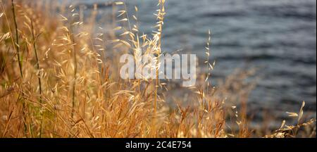 The common wild oat, the avena fatua, considered as grass. Golden dry plant of poaceae family is a noxious weed used for pasture. Blur sea water backg - Stock Photo