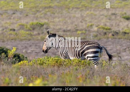 Cape Mountain Zebra (Equus zebra zebra) in fynbos, Bontebok National Park, Swellendam, Western Cape South Africa. IUCN Vulnerable species - Stock Photo