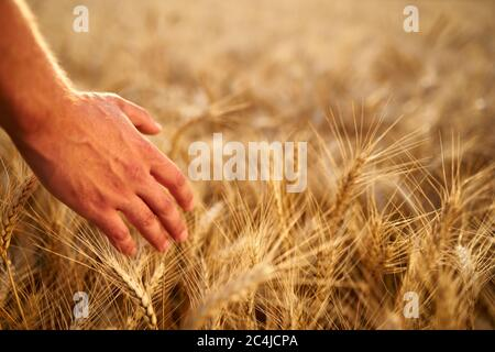Farmer touching ripe wheat ears with hand walking in a cereal golden field on sunset. Agronomist in flannel shirt examining crop before harvesting on - Stock Photo
