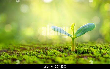 Planting seedlings young plant in the morning light on nature background - Stock Photo