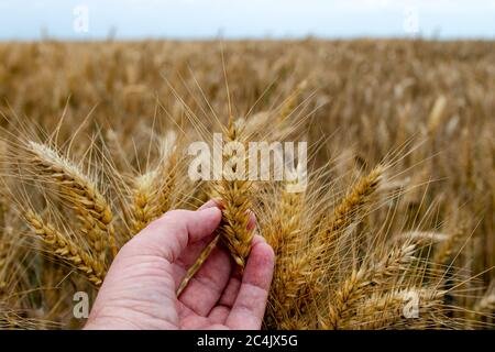 Farmer or agronomist in ripe wheat field, examining the yield quality. Hand holding the golden wheat straw. Close up. - Stock Photo