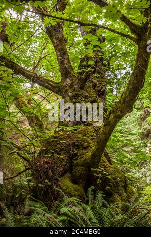 A Big leaf maple tree in South Whidbey Island State Park, Washington, USA. - Stock Photo