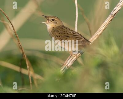 Male Grasshopper Warbler (Locustella naevia) in song, Cambridgeshire, England - Stock Photo