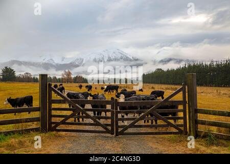 A rainy, winter farm scene in New Zealand, with cattle behind a wooden farm gate and snowy mountains in the background - Stock Photo