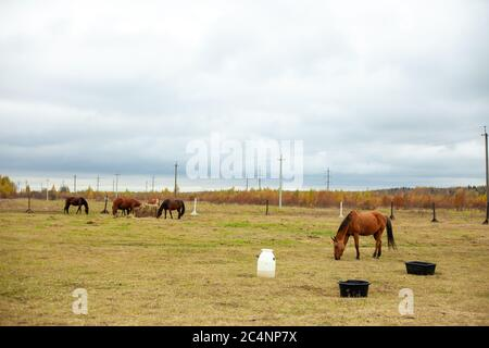 flock of beautiful horses graze in an autumn meadow next to a haystack behind a fence beautiful atmosphere rainy sky - Stock Photo