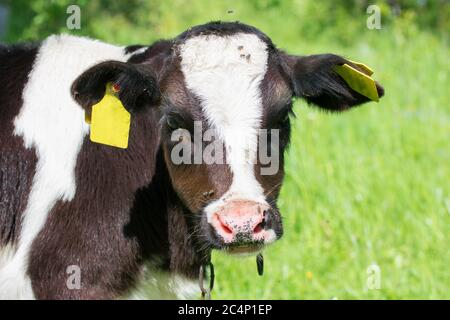 Portrait of young holstein calf in green meadow - Stock Photo