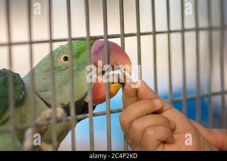 Portrait of an Alexandrine parakeet (Psittacula eupatria) parrot, eating a sunflower seed from a toddler's hand - Stock Photo