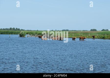 Europe, Netherland, Beef stand in the canal and cool down