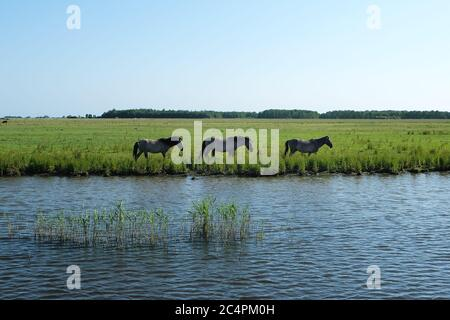 Europe Netherland - Horses on the shore of a canal in Holland
