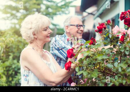Senior man and woman cutting the garden roses in front of their house - Stock Photo