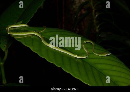 A juvenile Long-nosed Whipsnake (Ahaetulla nasuta) drinking from a wet leaf at night in the lowland rainforest of Kalutara, Sri Lanka